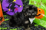 Picture of CARLTON ~ AKC REGISTERED  ~  WWW.JACOKENNEL.COM