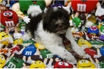 Picture of MICKEY ~ AKC REGISTERED  ~  WWW.JACOKENNEL.COM