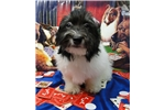 Picture of a Havanese Puppy