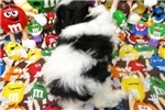 Picture of MISTER  ~ AKC REGISTERED  ~  WWW.JACOKENNEL.COM