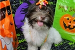 Picture of CHATTY ~ AKC REGISTERED  ~  WWW.JACOKENNEL.COM