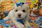 Picture of ELLA  ~ AKC REGISTERED  ~  WWW.JACOKENNEL.COM