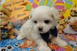 Picture of EDDIE  ~ AKC REGISTERED  ~  WWW.JACOKENNEL.COM