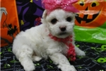 Picture of MADDIE  ~ 1ST GENERATION  ~  WWW.JACOKENNEL.COM