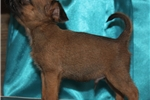 Red smooth male, high quality, both CH parents | Puppy at 9 weeks of age for sale