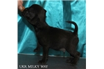 Black smooth male, high quality, both CH parents | Puppy at 9 weeks of age for sale
