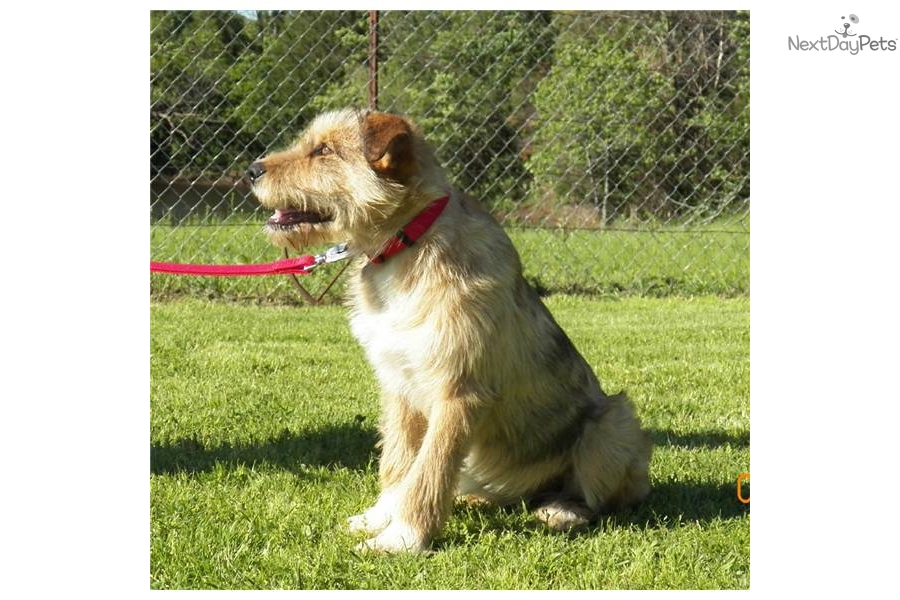 adopt socks a airedale terrier puppy for       u0026quot socks u0026quot  airedale  great pyrenees mix
