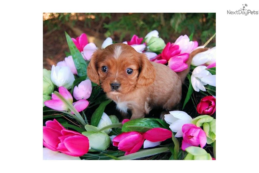 Cavapoo Dogs For Sale In Va