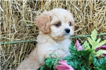 Picture of Playful registered vet checked F1 Cavapoo girl