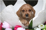 Picture of Cute F1B Schnoodle princess Microchip VA