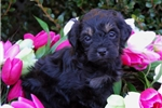Picture of Silkie black and tan F1B Schnoodle boy