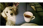 Picture of F1b   Tiny female Schnoodle bright red-- princess
