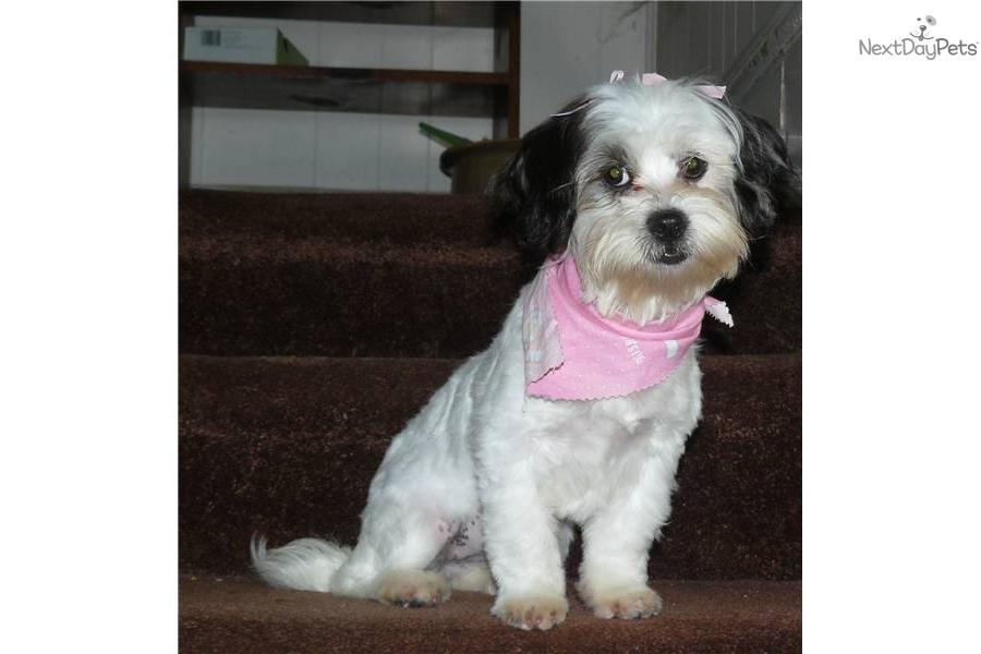 Pictures shih tzu bichon shichon teddy bear zuchon puppies for sale