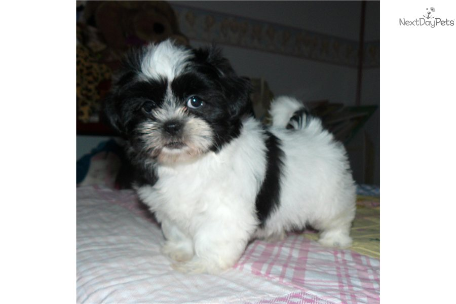 Shih tzu black and white female puppy