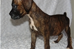 Picture of Brindle Tanner