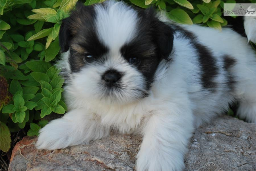 Missouri Shih Tzu Puppies For Sale | Dog Breeds Picture