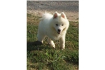 Picture of a Samoyed Puppy