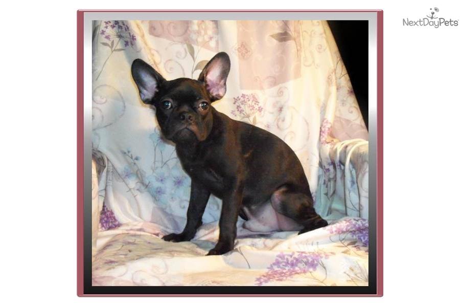 French Bulldog Boston Terrier Mix Puppies For Sale In Ohio ...