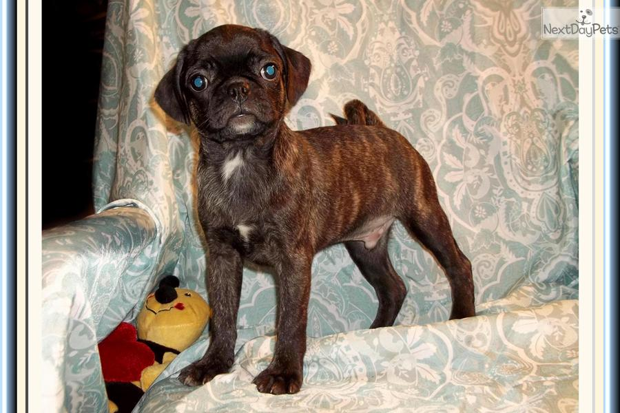 ... Bugg a cute Bugg puppy for sale for $400. Precious little Male Bugg