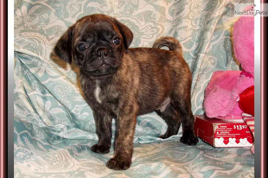 Bugg puppy for sale near Tallahassee, Florida | af80a4d4-44e1