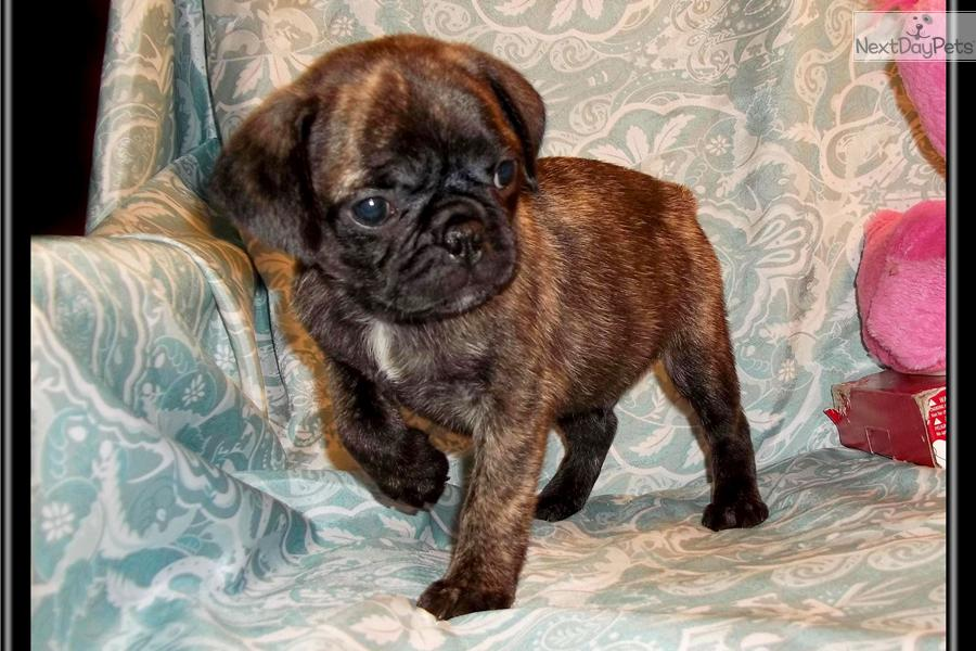Bugg Puppies Sale Image Search Results Picture