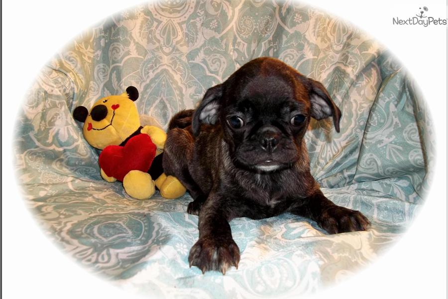 Bugg puppy for sale near Tallahassee, Florida | d4d75f80-ec71