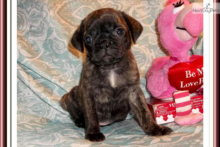 Bugg puppy for sale near Tallahassee, Florida | 144aba75-b8e1