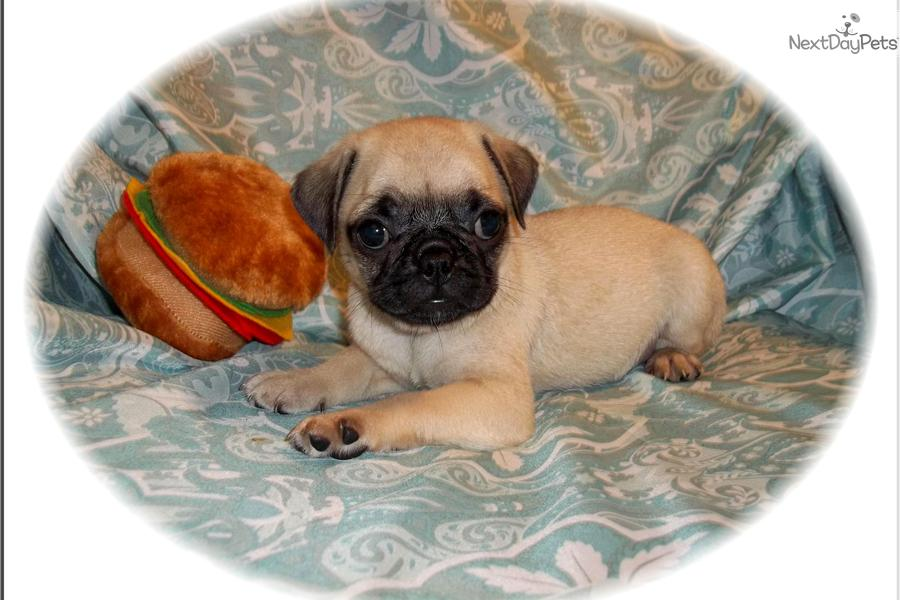 Bugg Puppies Picture
