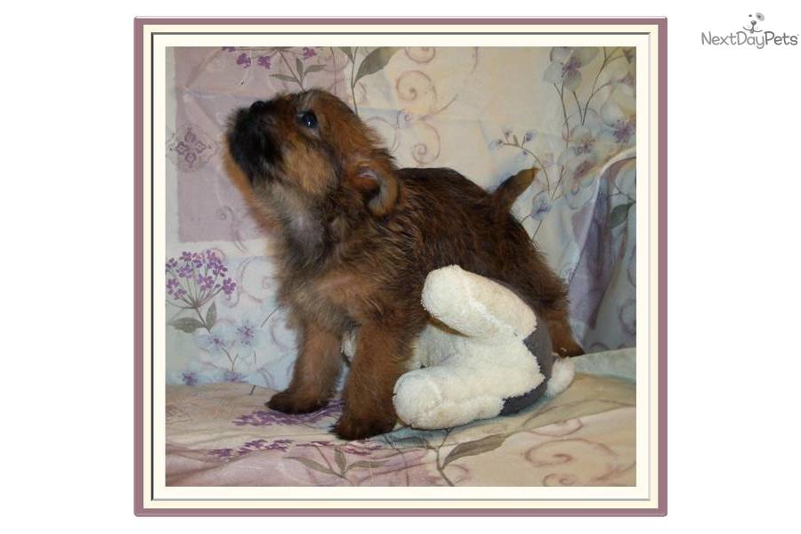 Pugshire Puggle Puggle Yorkie Mix Pugshire Mix Dog Breed Info Dog ...