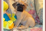 Handsome little Male Bugg | Puppy at 10 weeks of age for sale