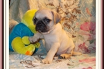 Picture of a Bugg Puppy