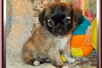 Picture of Spunky Red Sable Tri Colored Female ShiChi Puppy