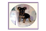 Picture of a Yorkshire Terrier - Yorkie Puppy