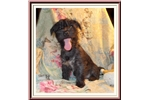 Picture of Handsome Fourche Male Puppy.  Dusty is a cross of