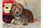 Picture of Super Cute Little Male Yorkie Poo