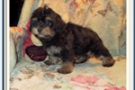 Picture of Beautiful Male Yorkie Poo