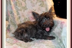 Picture of Sweet Fourche Female Puppy