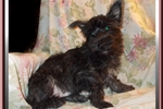 Picture of Handsome Fourche Male Puppy
