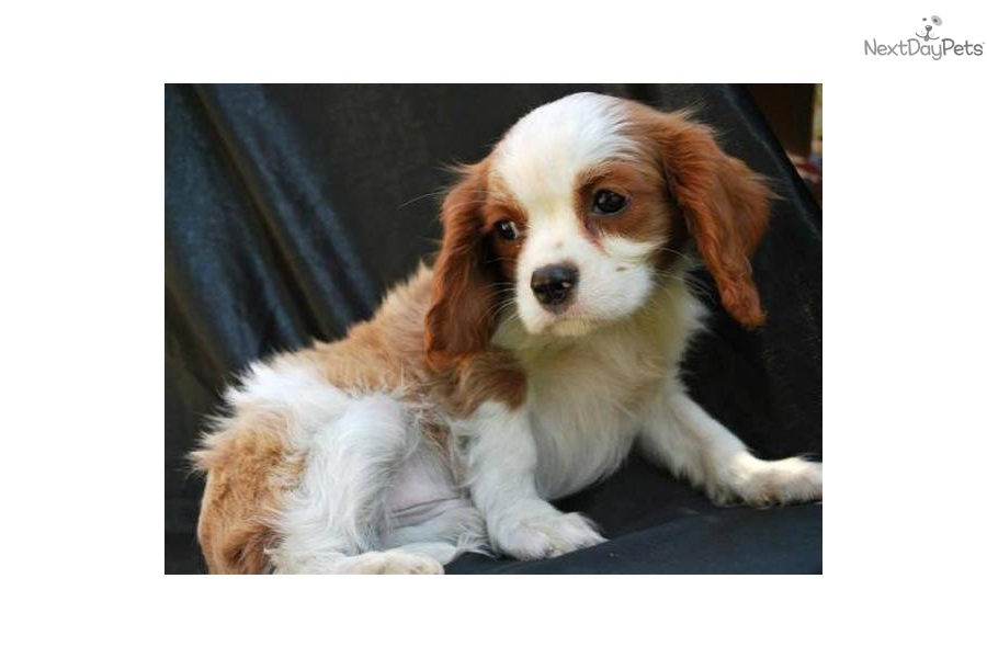 Meet Male A Cute Cavalier King Charles Spaniel Puppy For