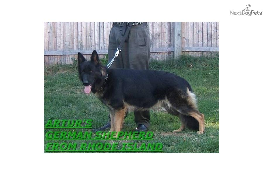 German Shepherd Puppies For Sale Rhode Island