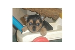 Picture of a Norwich Terrier Puppy