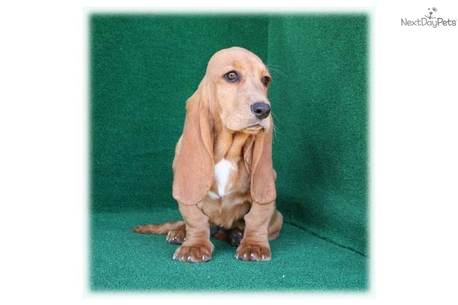 Names For Female Basset Hound Dogs