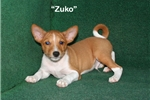 Zuko - Red & White Male Basenji AKC | Puppy at 12 weeks of age for sale