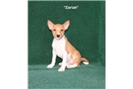 Zariah - Red Basenji Female AKC | Puppy at 12 weeks of age for sale