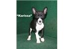 Picture of Karissa -  Black & White AKC Female Basenji
