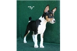 Ty - AKC Tri Male Basenji Pup  | Puppy at 14 weeks of age for sale