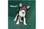 Picture of Kass - Tri Female Basenji AKC