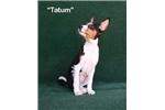 Picture of Tatum - Tri Male Basenji AKC