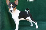 Sold Tatum - Tri Male Basenji AKC | Puppy at 14 weeks of age for sale