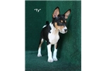 Picture of Ty - AKC Tri Male Basenji Pup